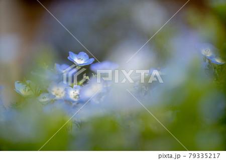 ネモフィラ 春イメージ 79335217