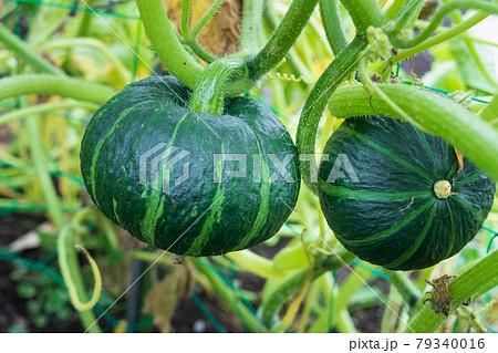 家庭菜園におけるカボチャの栽培(カボチャの実) 79340016