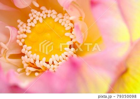 蓮の花 79350098