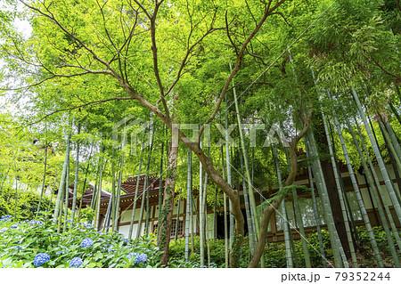 【神奈川県】鎌倉 緑が美しい円覚寺の竹林と紫陽花 79352244
