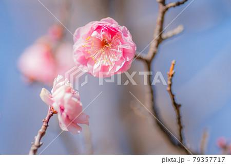 春満開の羽根木公園の梅 79357717