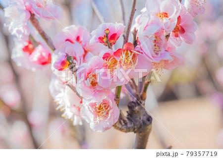 春満開の羽根木公園の梅 79357719