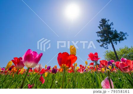 秩父羊山公園に咲くチューリップ 79358161