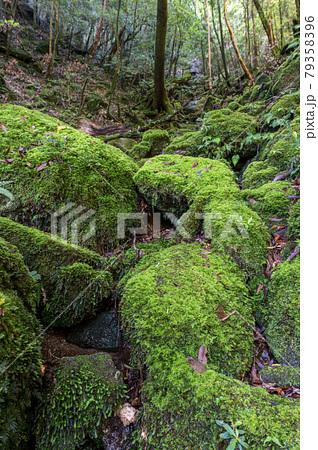 苔がきれいな苔むす沢。屋久島白谷雲水峡の森(5月) 79358396