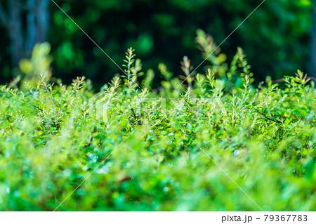 夏 梅雨 雨上がり 植栽の若葉 79367783