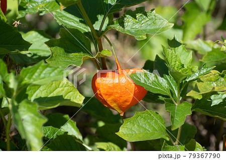 オレンジ色のホオズキの実 79367790