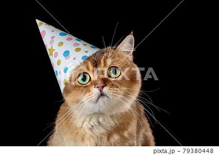 Sad british shorthair cat in birthday hat isolated on black background 79380448