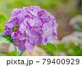 アジサイの花に隠れるアマガエル 79400929