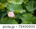 ピンクの蓮の花 79400930