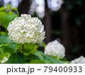 可憐に咲く白いアジサイ 79400933