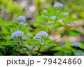 梅雨時期山の小可憐な花を咲かせる小紫陽花 79424860