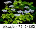 梅雨時期山の小可憐な花を咲かせる小紫陽花 79424862