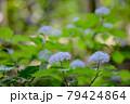 梅雨時期山の小可憐な花を咲かせる小紫陽花 79424864