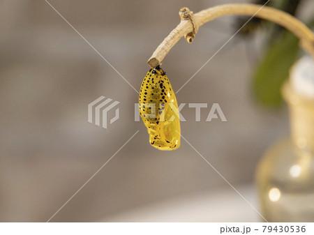 多摩動物公園 蝶のサナギ 79430536