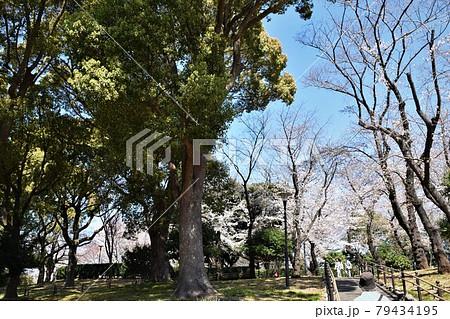 飛鳥山の桜 79434195