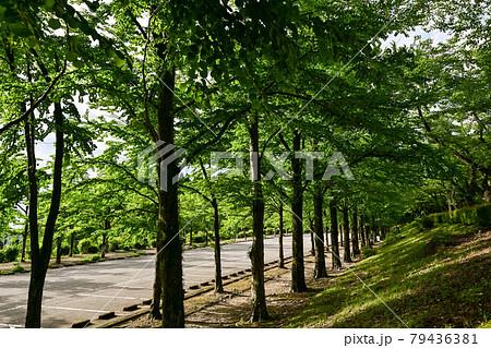 新緑のカツラ並木 79436381