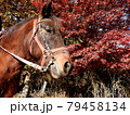 和種馬と紅葉 79458134