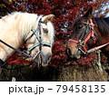二頭の和種馬の紅葉写真 79458135