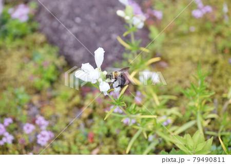 ムシゃリンドウの蜜を吸うキムネクマバチ 79490811