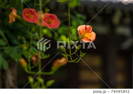 寺の境内に咲くオレンジ色のノウゼンカズラ 79495842