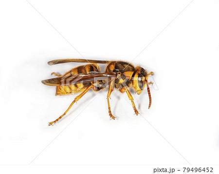 白バックのキイロスズメバチ 79496452