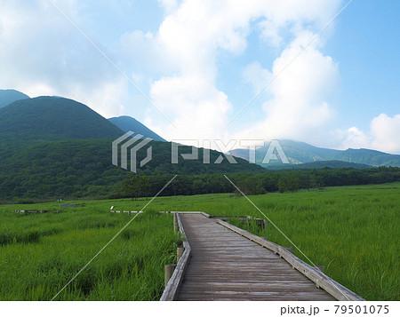 初夏のタデ原湿原 大分県玖珠郡九重町田野 79501075