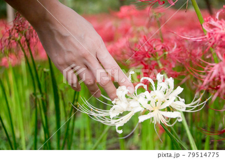 赤い彼岸花の中の白い彼岸花と男性の手 79514775