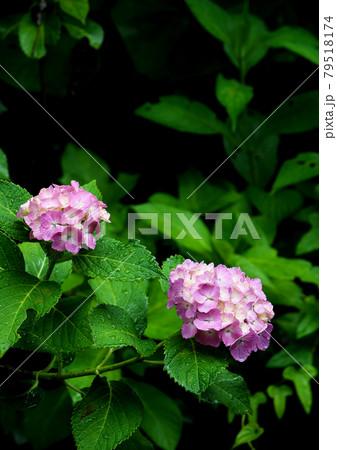 雨に濡れながら可憐に咲くピンクのアジサイ 79518174