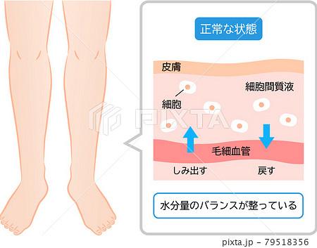 健康な足 水分バランスのしくみ 断面図 79518356