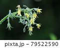 ミニトマトの蕾、花、実 79522590