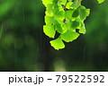 イチョウの葉と降りしきる雨の軌跡 79522592