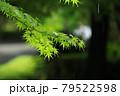 梅雨時の楓の優美な枝葉 79522598