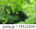 雨粒を纏った梅雨時の楓の葉と種 79522600
