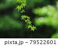 梅雨時の楓のしなやかな枝と葉 79522601