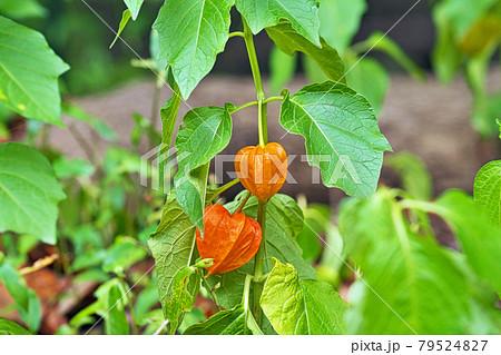 オレンジ色のホオズキの実 79524827