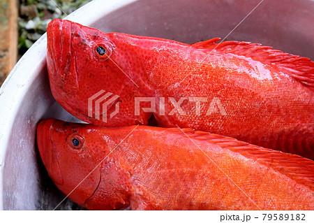 沖縄の魚 アカジンミーバイ 79589182