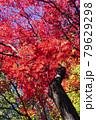 緑色黄色の葉を背に燃え盛る紅葉 79629298