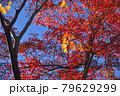 青空と紅葉ときらめくモミジ 79629299
