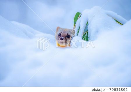 冬のテン 79631362