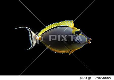 あくびをする魚 ミヤコテングハギ 黒バック 79650609