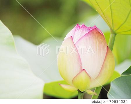 蓮の花 ロータス 79654524