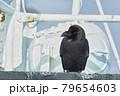 羅臼の漁船に止まるブトカラス 79654603