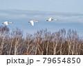 シベリアに帰るオオハクチョウ 79654850
