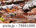 小さな池で水浴びするシジュウカラ 79661986