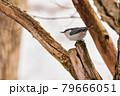 林の中のゴジュウカラ 79666051
