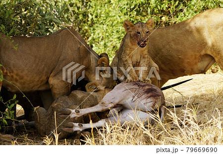 ライオンの狩り 79669690