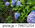 小川沿いに咲く青系の紫陽花たち 79671254
