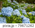 青系の紫陽花がたくさん咲いている風景 79671262