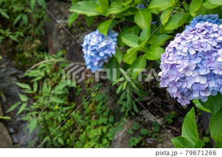 小川沿いに咲く青系の紫陽花 79671266