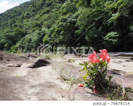 カンピレーの滝に咲くツツジ 西表島 79679114